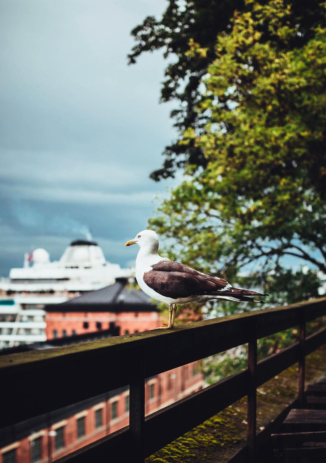 Fiskmås - Evelinas Ekologiska