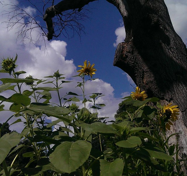 The Mammoth Sunflowers are starting to really bloom now. The best part is that I can see them from my desk.   Next year, we'll plant lots more, in lots more varieties. Along with a big garden full of veggies and plants for dyeing, feeding insects and more