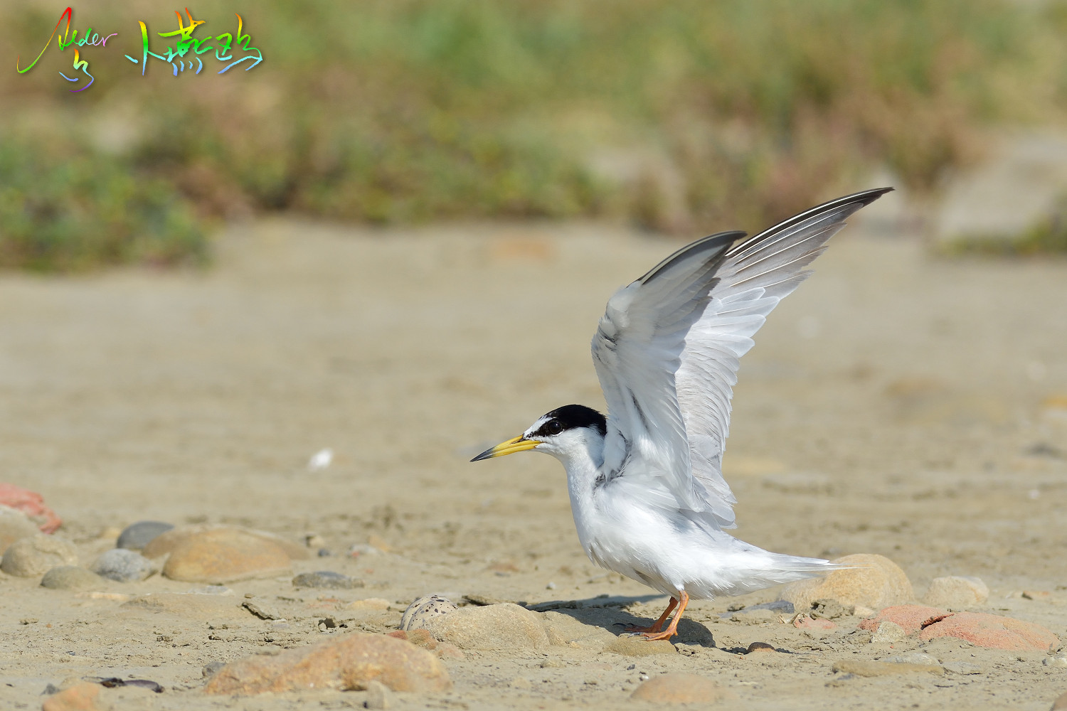 Little_Tern_2441