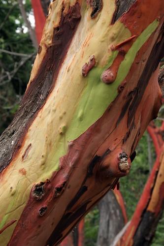 Madrona bark