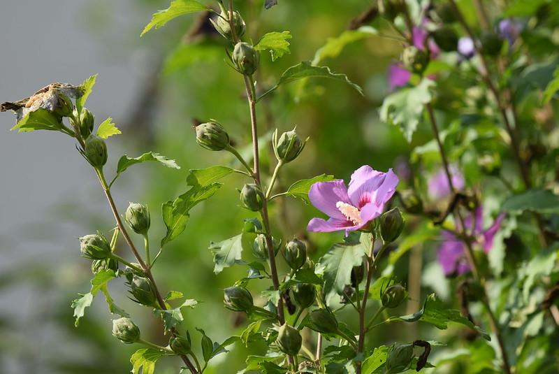 Hibiscus 26.09 (1)