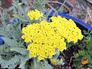 Moonshine Yarrow 2