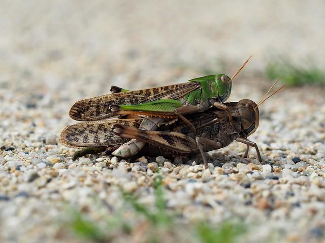 Migratory locusts (トノサマバッタ)