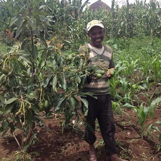 Avocado sapling