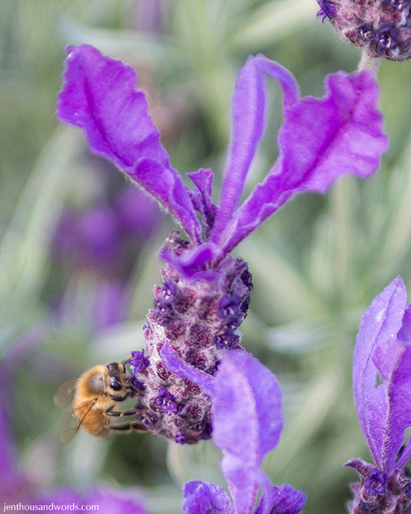 Bees enjoying lavender 07