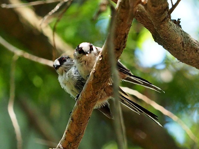 Long-tailed tit (エナガ)