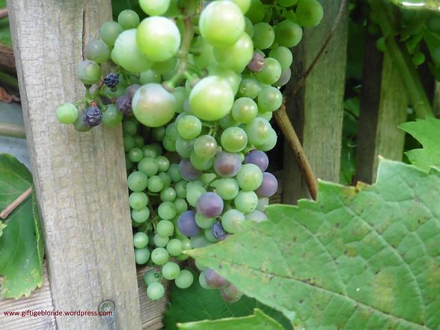 Weintrauben vom Nachbarn August 2016