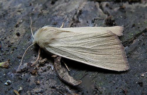 Fen Wainscot Arenostola phragmitidis Tophill Low NR, East Yorkshire August 2016