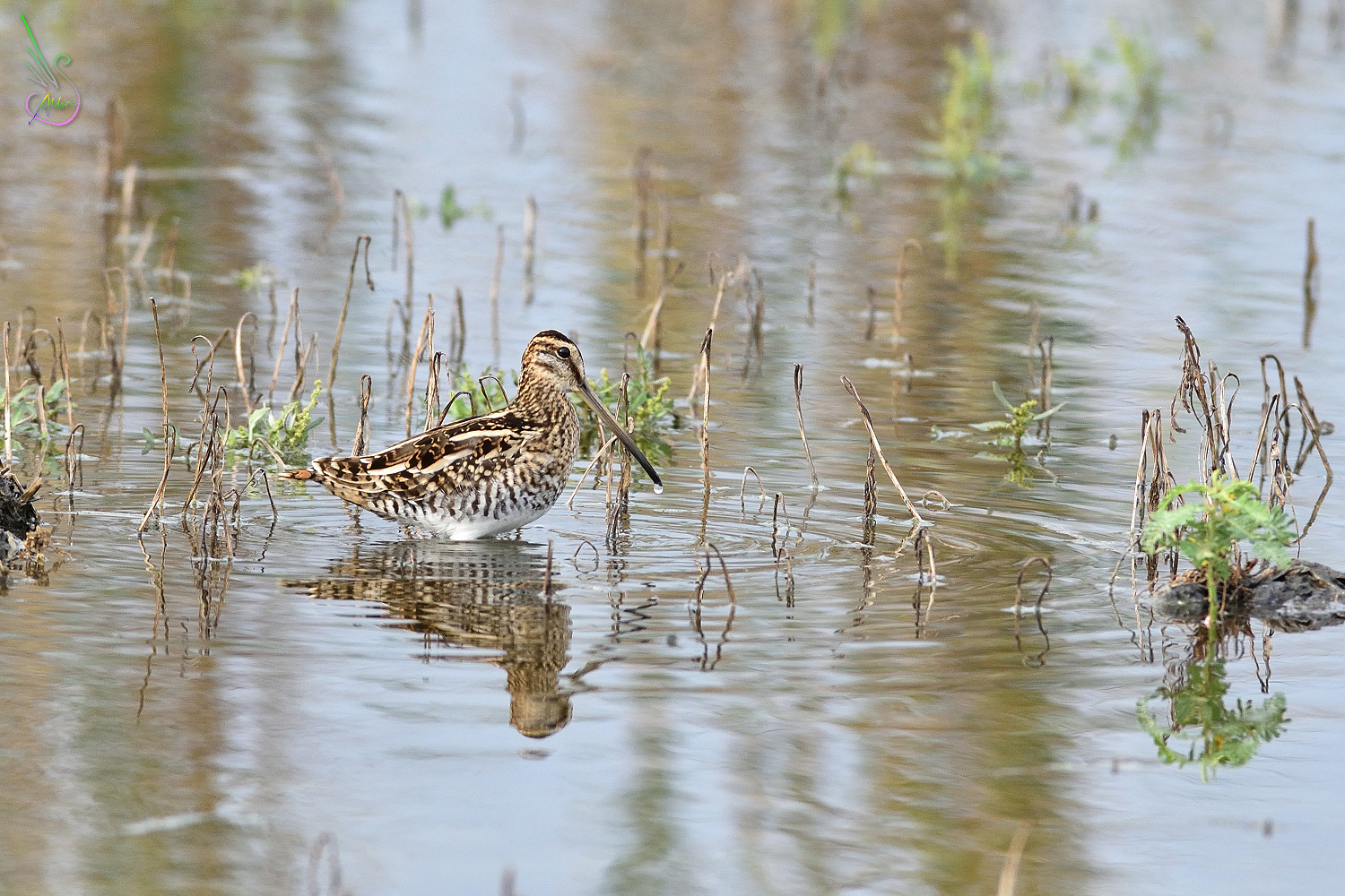 Common_Snipe_9542