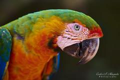 Catalina Macaw (Ara ararauna)
