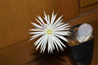 DSC_3814 Setiechinopsis mirabilis セティエキノプシス 奇想丸