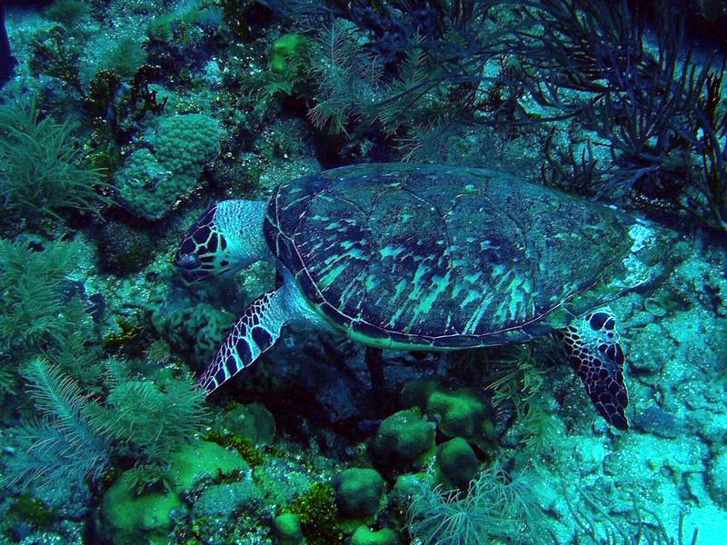 Las tortugas, símbolo de Roatan