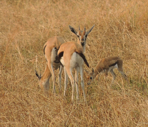 Tanzania Safari, Gazells(Thompson, Grant) and Dik-dik