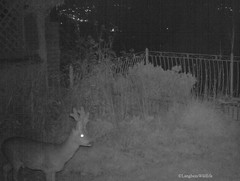Roe Buck in garden at night