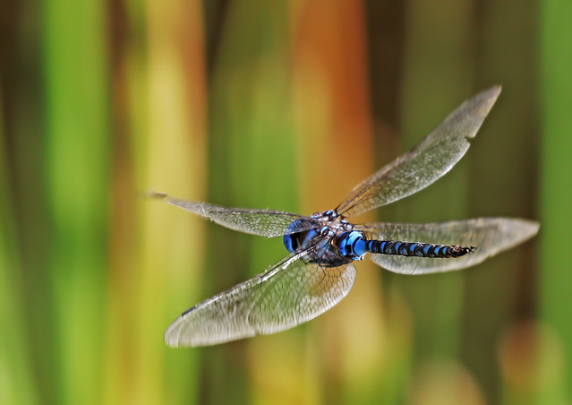 Dragon-Fly-5-7D2-280716