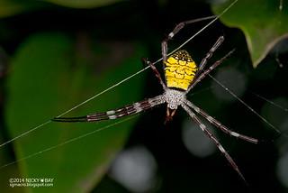 Mangrove  cross spider (Argiope mangal) - DSC_5098