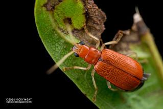 Leaf beetle (Hoplosaenidea sp.) - DSC_2533