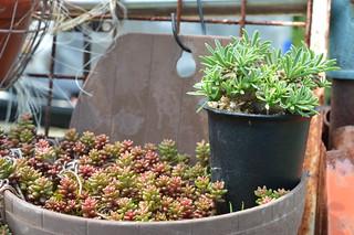 DSC_3662 Euphorbia 'KAIMAGYOKU'  ユーフォルビア 怪魔玉