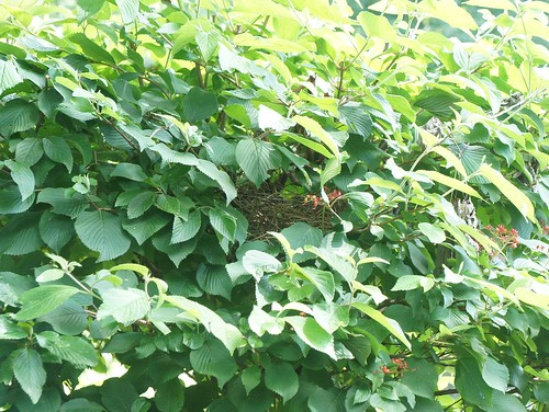 At Home: Bird Nest in a Bush