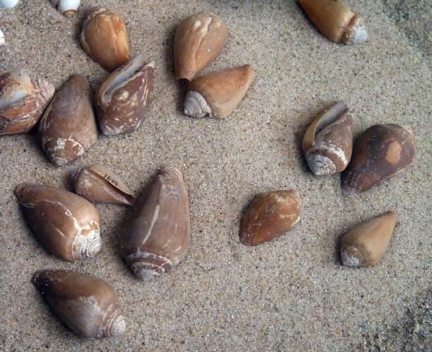 Conus californicus 30369980862_2c53db24db_o