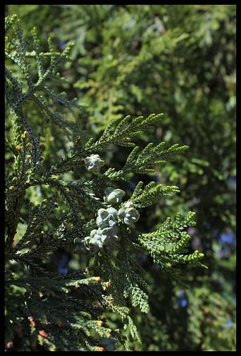 thuyopsis (6)