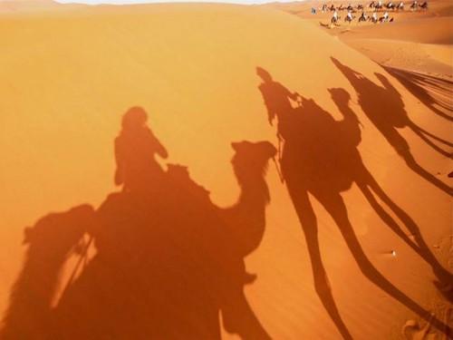 Camels-500x375