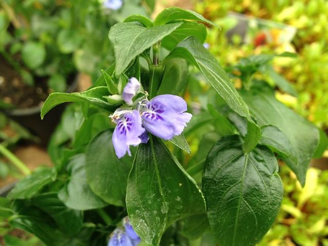 Tendrils: Mushroom plant, Rungia klosii, in flower.