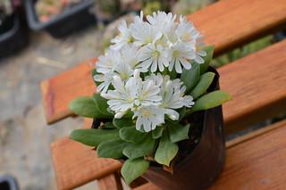 DSC_3648 Lewisia cotyledon forma alba  レウイシア コチレドン