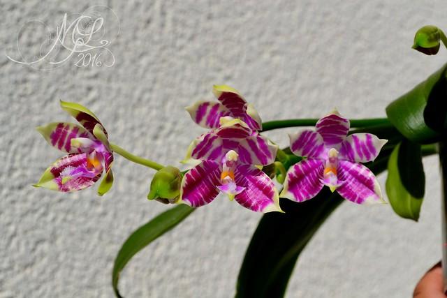 Phalaenopsis Gersenii 28127252614_486823659e_z