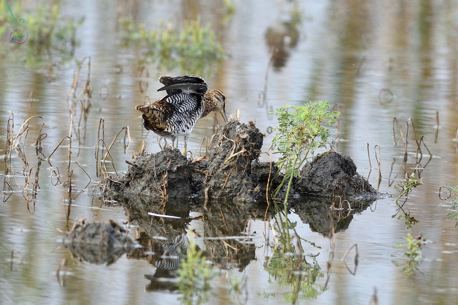 Common_Snipe_9587