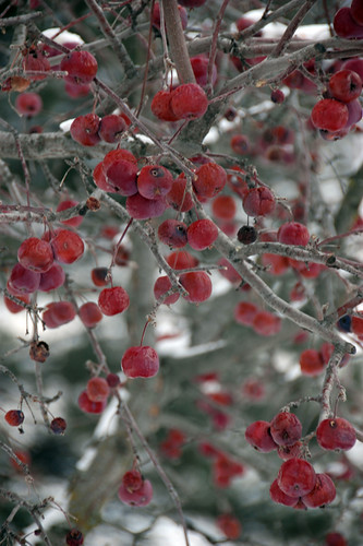 Xmas Berries in the Snow