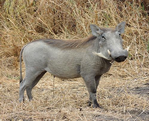 Tanzania Safari, Warthogs