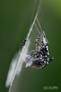 Black orb web spider (Neogea nocticolor) - ESC_0106