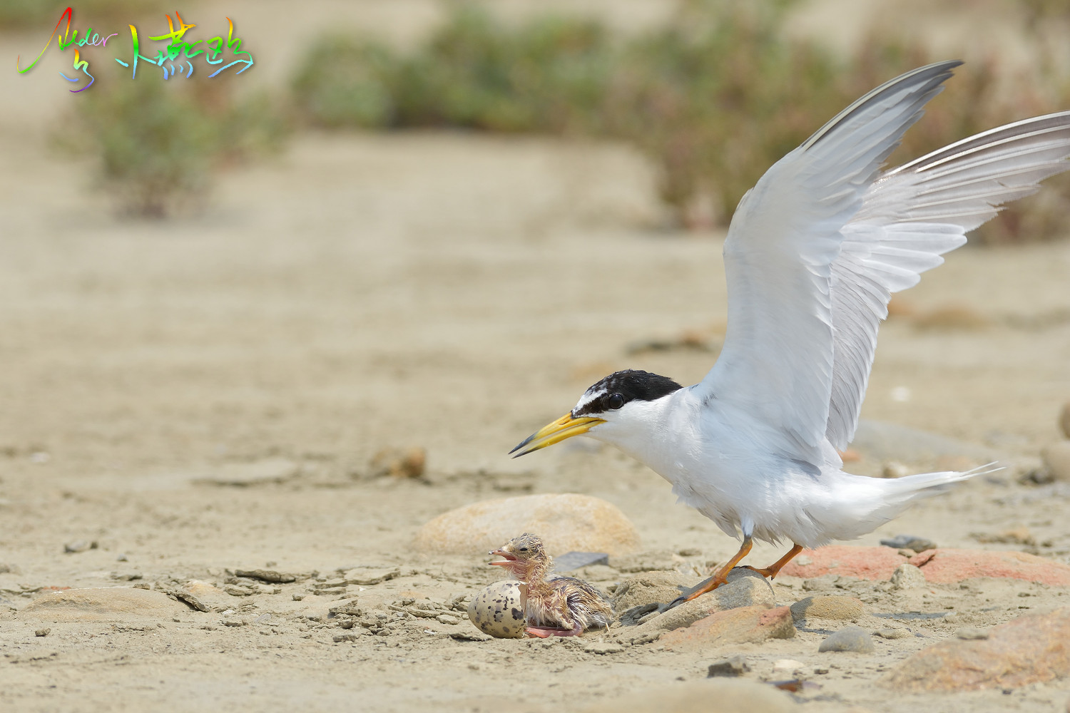 Little_Tern_5281