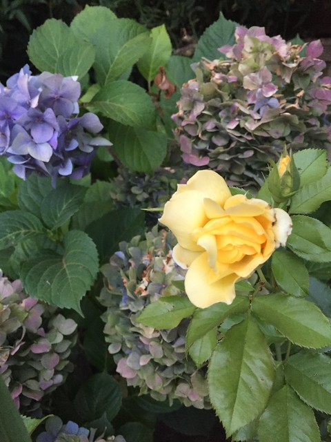 yellow rose and hydrangea