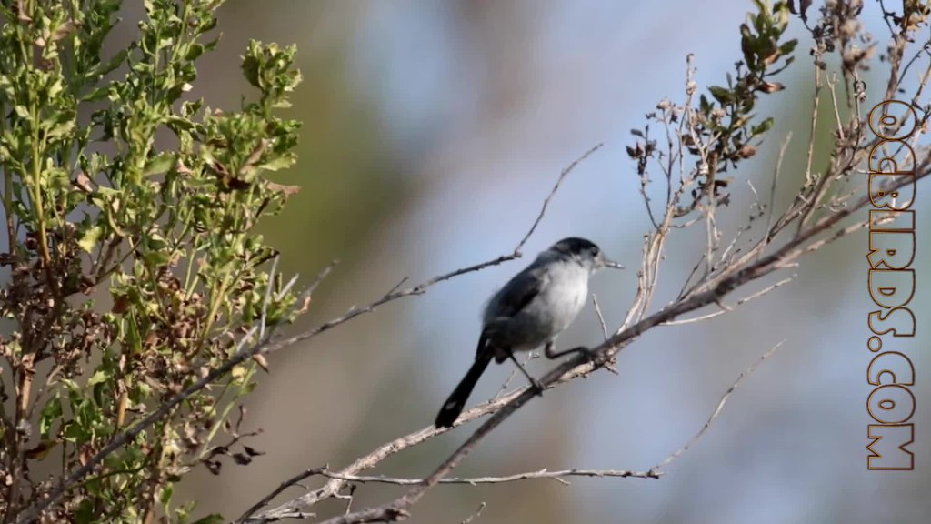 California Gnatcatcher (male)