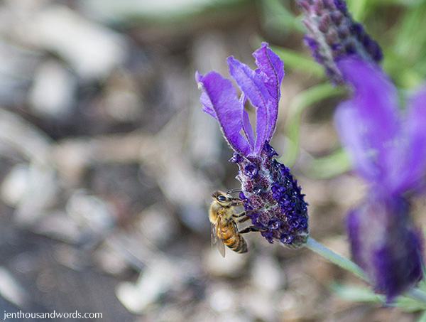 Bees enjoying lavender 04