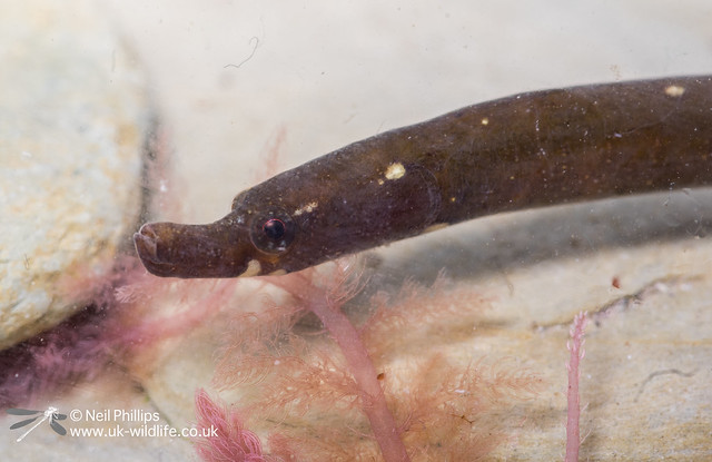 Worm pipefish on West Looe in photo aquarium-5