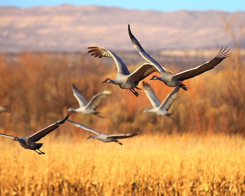 IMG_6325 Sandhill Crane