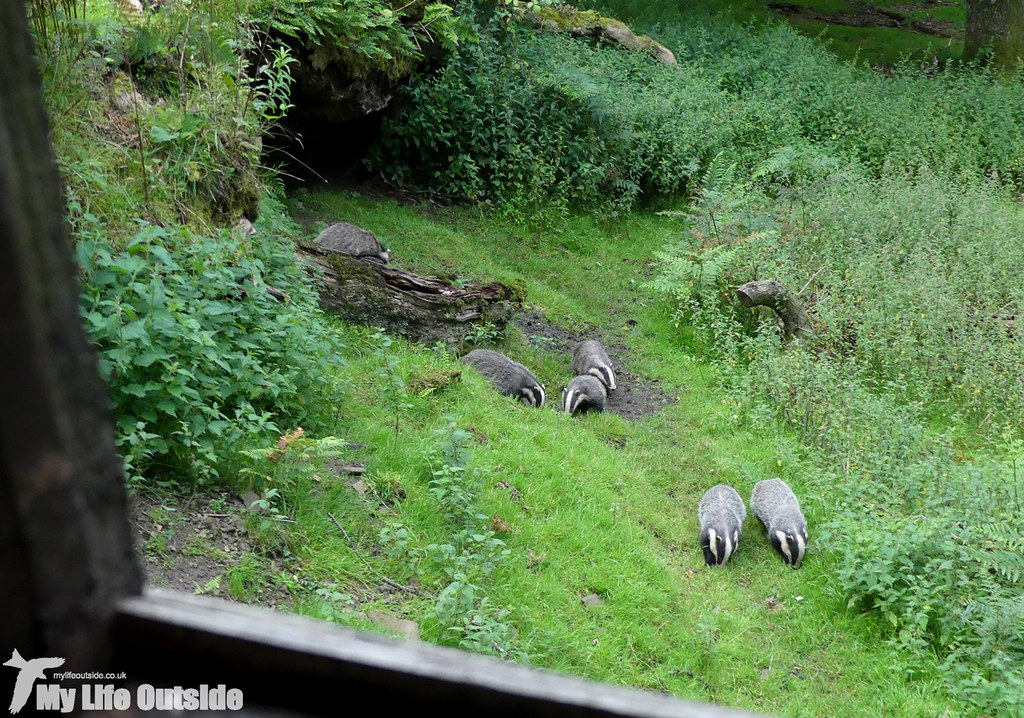 P1030913 - Dinefwr Badgers
