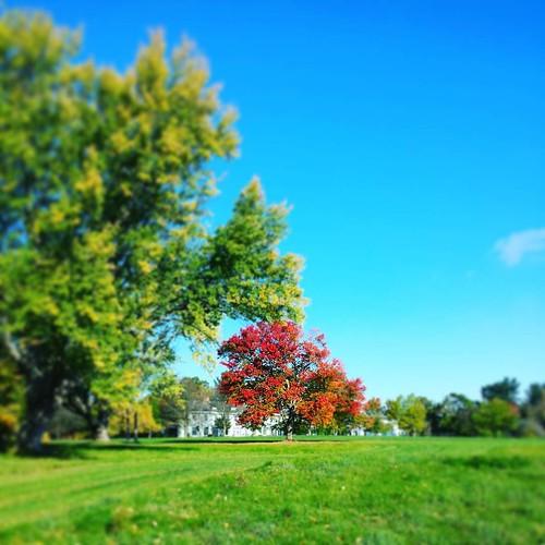 Aieee! The blood tree! #KnoxFarm #EastAurora #wny #autumn #trees