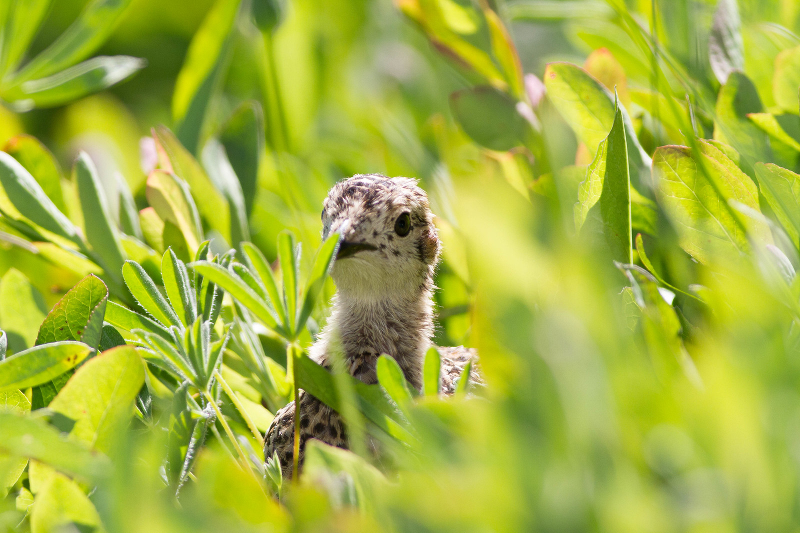 Sooty Grouse Chick in the grass