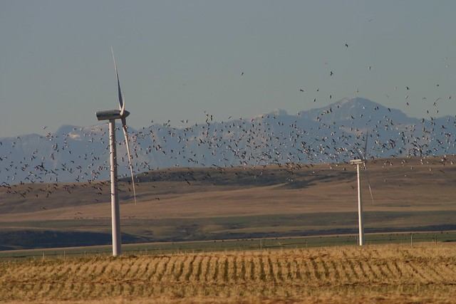 Gulls in the air near the Summerview wind farm near Pincher Creek, Alberta
