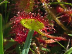 Drosera rotundifolia escasa en nuestros montes. Sale en turberas de suelo silíceo