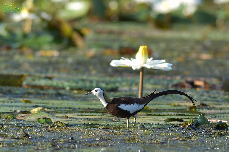 Pheasant-tailed_Jacana_3103