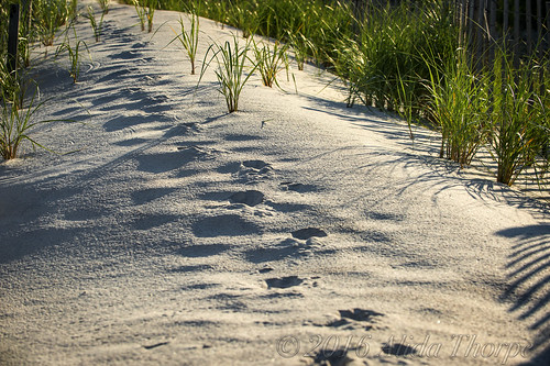 Deer and Fox Tracks in the Sand Dunes