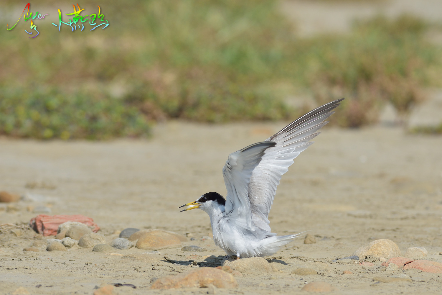 Little_Tern_2507