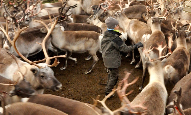 young Saami herder