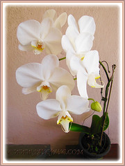 Hardy White Phalaenopsis Orchid cv. aphrodite (Moth Orchid, Phal.) blooming again in 24th Jan. 2016