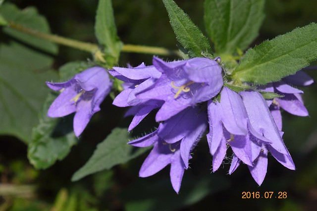Vous avez une idée du nom de cette fleur ???? - TROUVÉ`: Campanula rapunculoides l'envahissante 28510544382_d9b56128d3_z